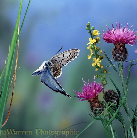 Chalkhill Blue Butterfly (Lysandra coridon) male in flight with Knapweed and Agrimony flowers