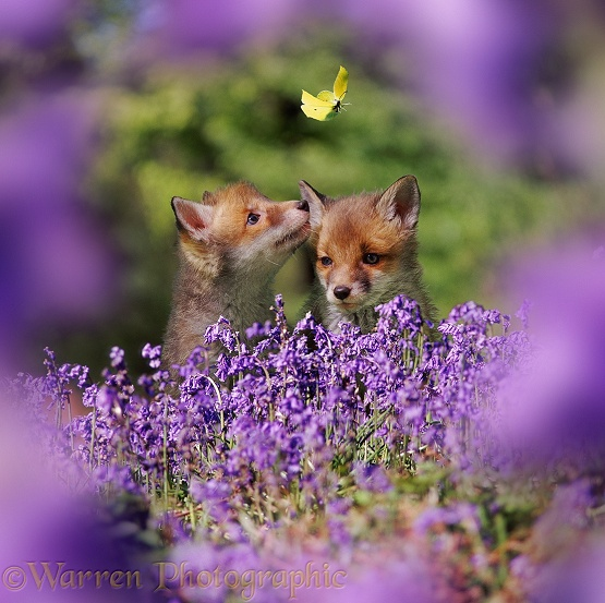 Red Fox (Vulpes vulpes) cubs and bluebells