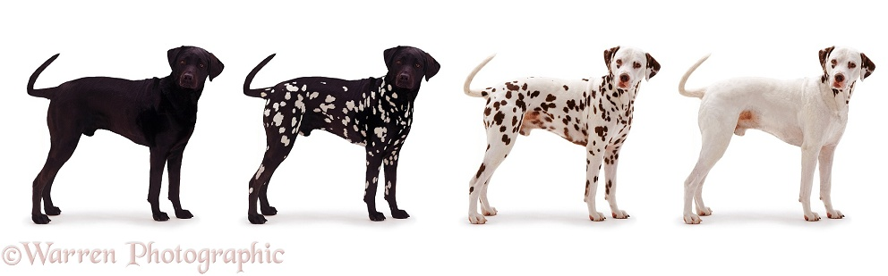 Black and white Dalmatian, white background