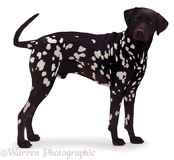 Inverse black Dalmatian, white background