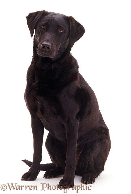 Black Labrador bitch Poppy, white background