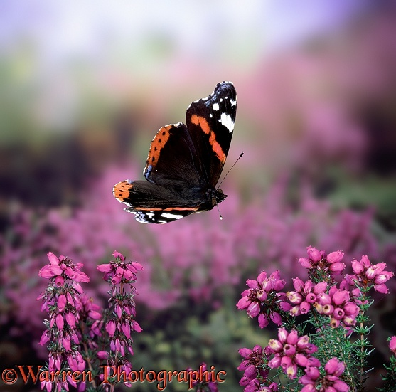 Red Admiral Butterfly (Vanessa atalanta) in flight over Bell-heather (Erica cinerea)