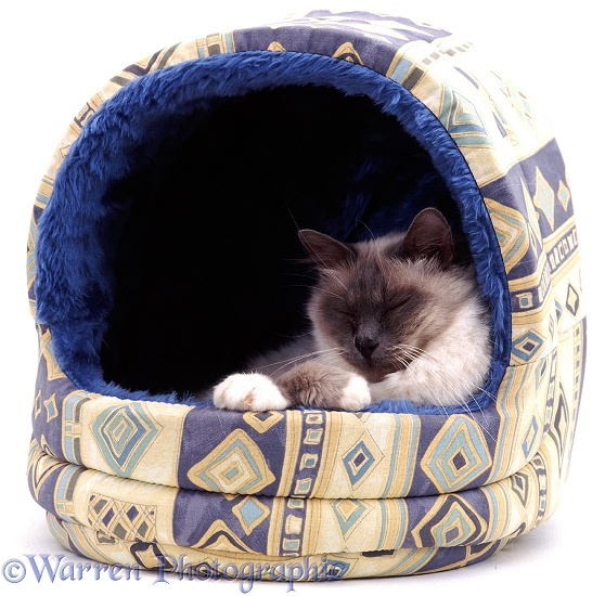Elderly Blue Birman female cat Chinarose asleep in an igloo bed, white background