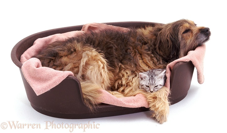 Mongrel, Pippa, 13 years old, asleep in basket with kitten, white background