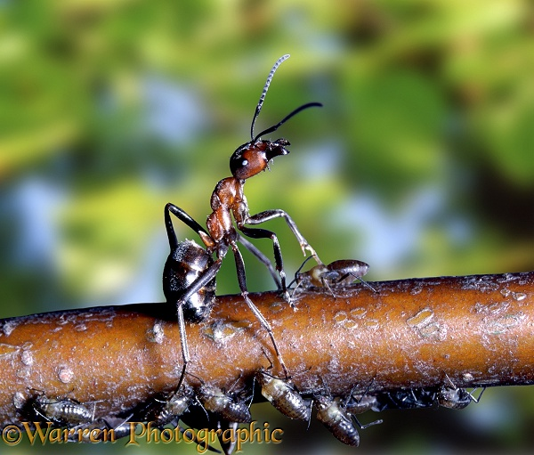 Wood Ant defensive