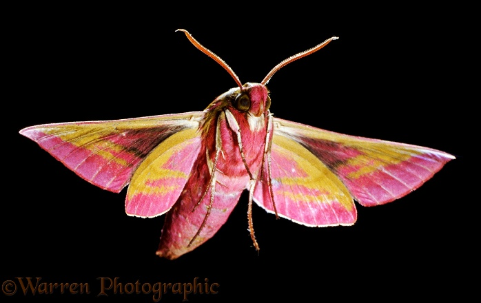 Elephant Hawk Moth (Deilephila elpenor)