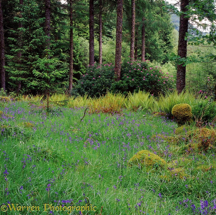 Ferns bluebells and rhododendrons