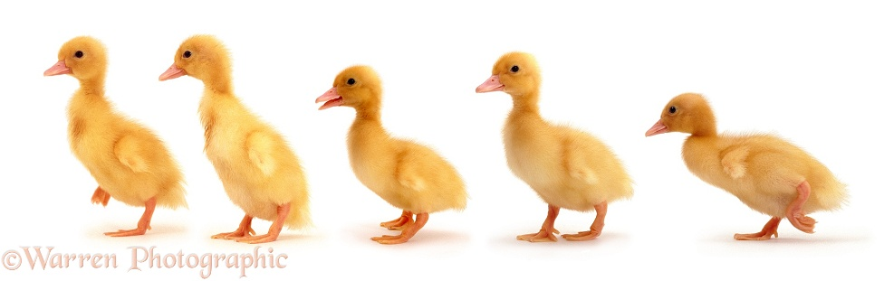 Yellow ducklings, white background