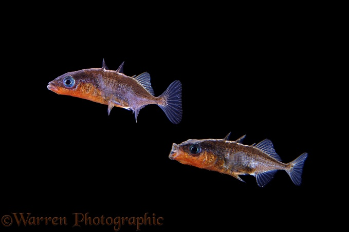 Three-spined Stickleback (Gasterosteus aculeatus) males in territorial dispute