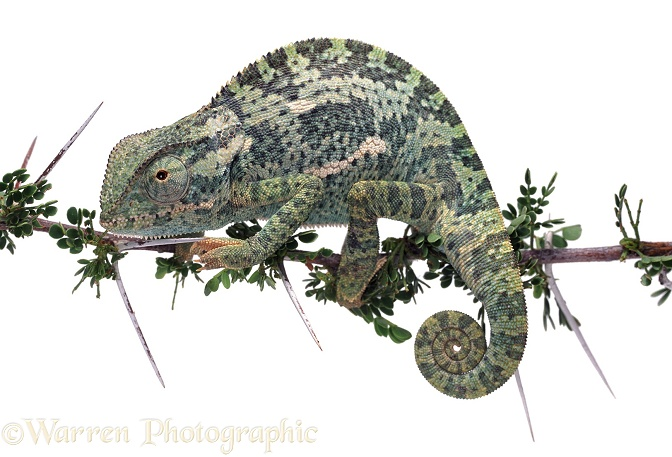 Flap-necked Chameleon (Chamaeleo dilepis).  Africa, white background