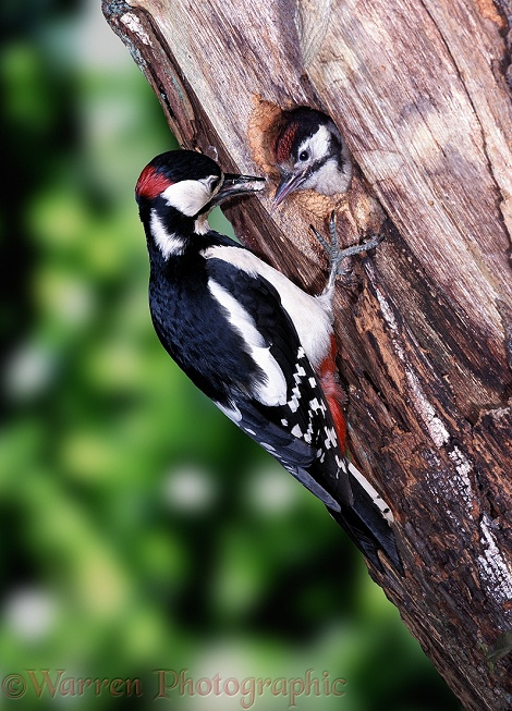 Great Spotted Woodpecker (Dendrocopos major) male feeding chick at nest hole