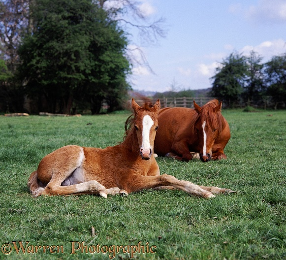 British show pony foal Dresden, 45 days old, lying down, his mother, Porcelain, behind