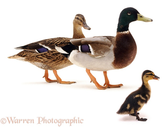 Mallard (Anas platyrhynchos) duck, drake and duckling, white background