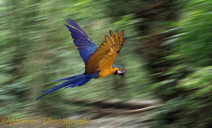 Blue and Yellow Macaw (Ara ararauna) in flight.  South America