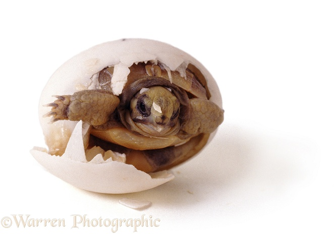Spur-thighed Tortoise (Testudo graeca) hatching from its egg.  Europe, white background