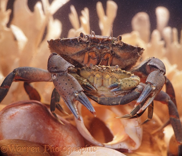 Shore Crab (Carcinus maenas) male holding a small female prior to mating