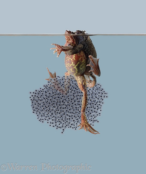 Frogs with spawn