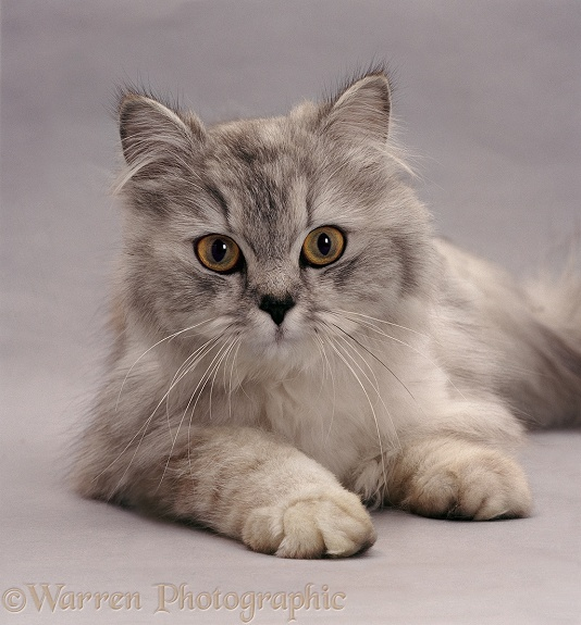 Portrait of Silver longhair cat Electra