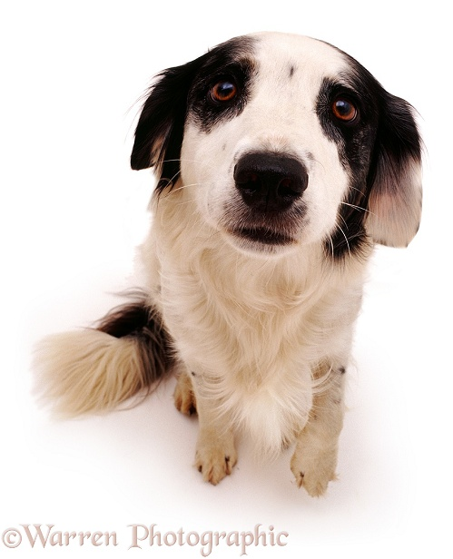Springer Spaniel x Border Collie dog Rio, white background