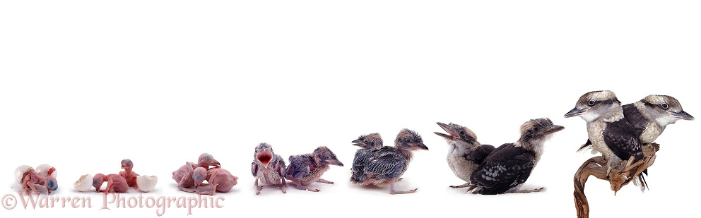 Blue-winged Kookaburras (Dacelo leachi) growing up. Hatching, 3 hours old, and 7, 18, 22, 31 and 60 days old.  Australia, white background