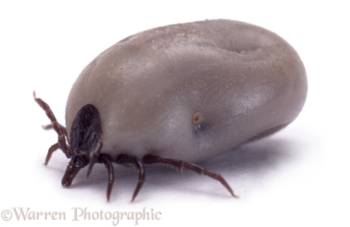 Engorged Sheep Tick (Ixodes ricinus), white background
