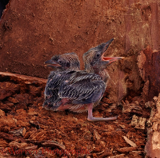 Blue-winged Kookaburra (Dacelo leachi) chicks, 22 days old, in the nest.  Australia