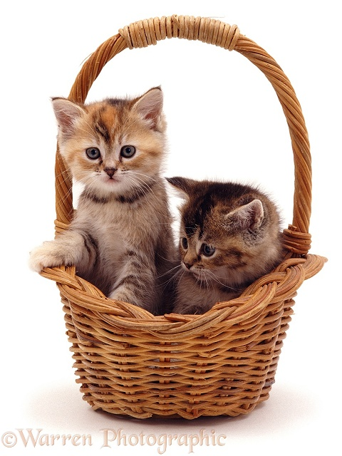 Kittens in a basket, white background