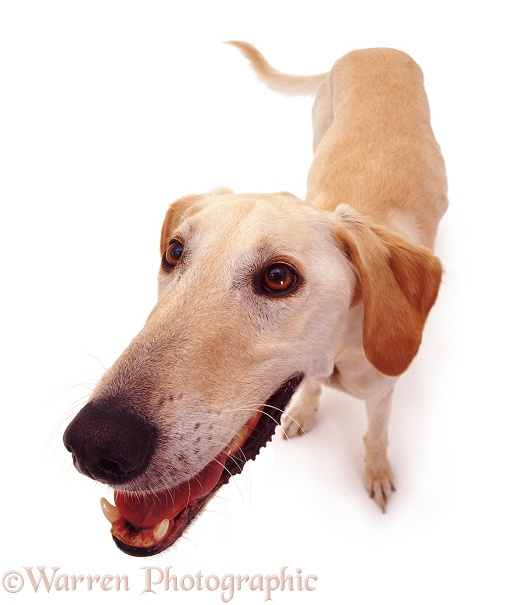 Saluki Lurcher dog Swift, white background