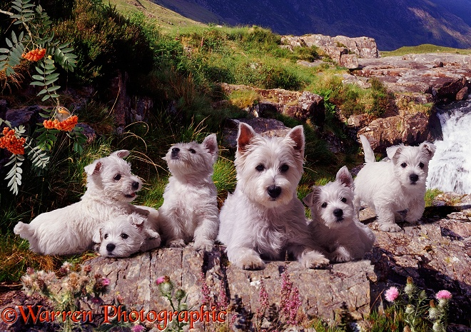 West Highland White terriers in Glen Coe.  Scotland