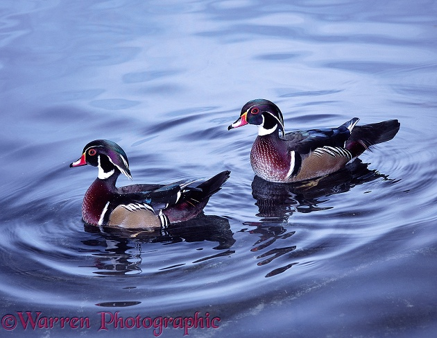 Carolina Wood Duck (Aix sponsa) drakes