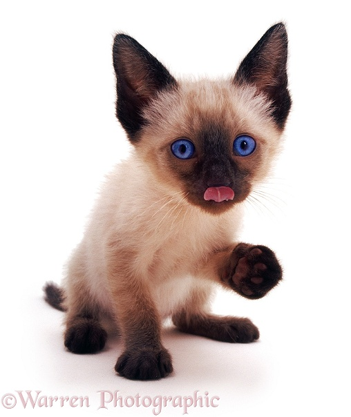 Siamese kitten licking its nose, white background