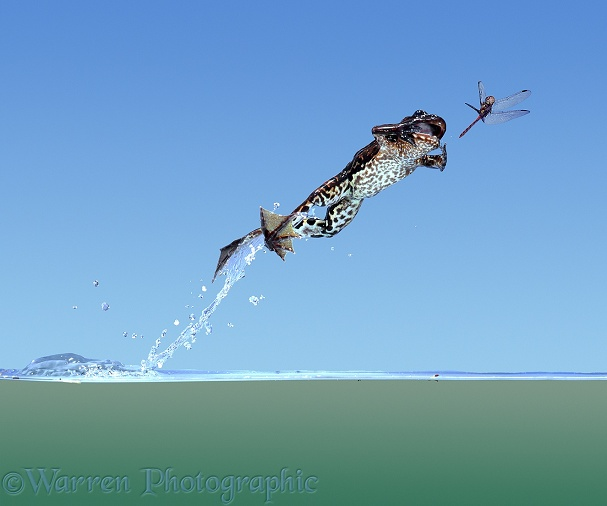 Edible Frog (Rana esculenta) leaping from water surface to catch a dragonfly