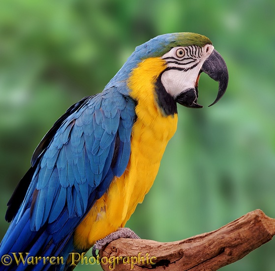 Blue and Yellow Macaw (Ara ararauna) yawning.  South America