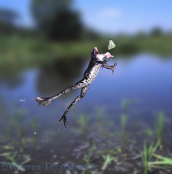 Edible Frog (Rana esculenta) leaping to catch a passing white butterfly