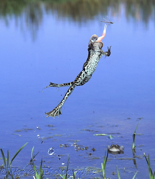 Edible Frog (Rana esculenta) leaping to catch a passing damselfly.  Europe