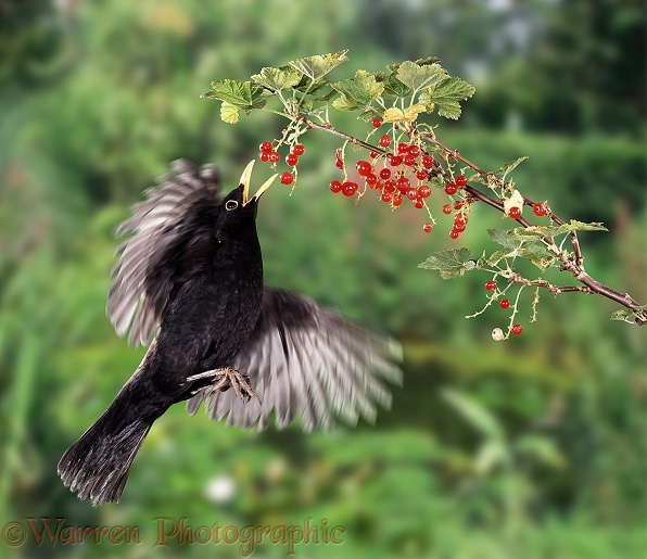 Blackbird (Turdus merula) male flying up to pick a red currant.  Europe