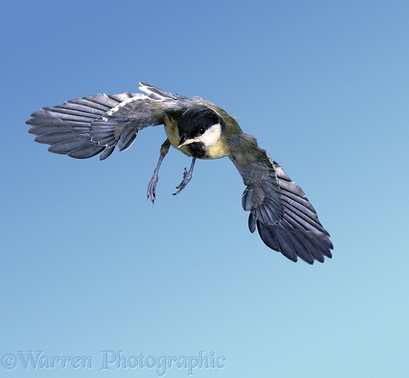 Great Tit (Parus major) juvenile on maiden flight.  Britain & Europe