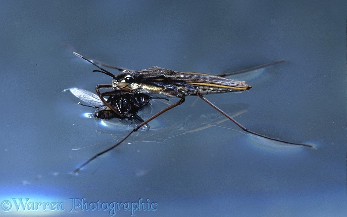 Pond Skater (Gerris lacustris) with fly prey