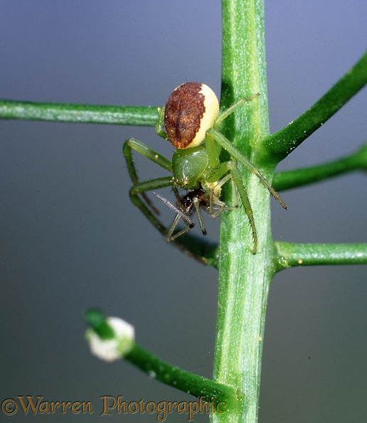 Crab Spider (Diaea dorsata) female eating its mate.  Britain & Europe