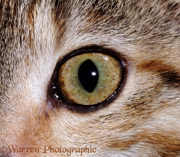 Eye of a tabby female cat, 5 months old
