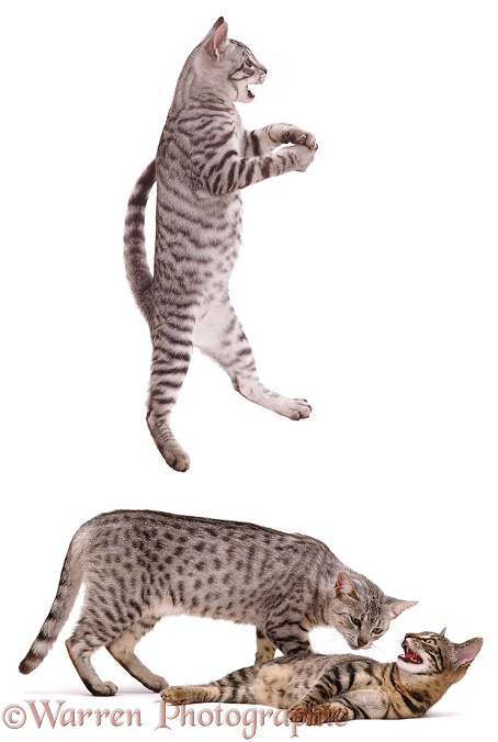 Egyptian Mau female cat and kittens. One kitten playfully leaping, white background