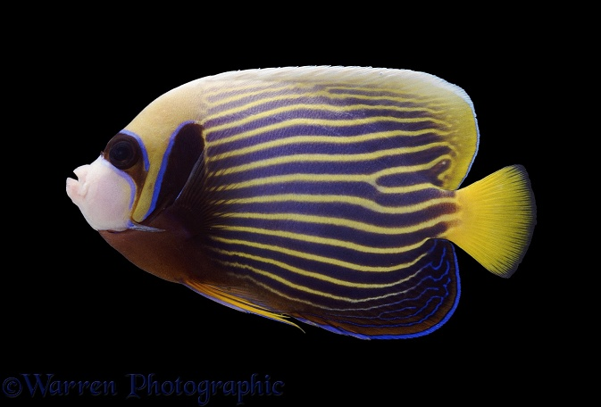 Emperor Angelfish (Pomacanthus imperator) adult