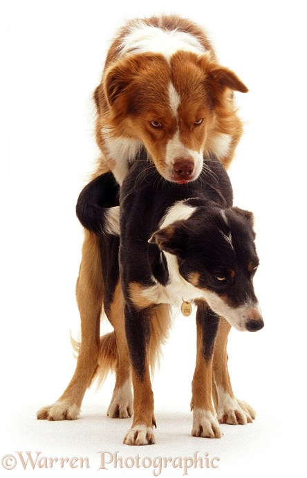Border Collies Brak and Sky, mating, white background