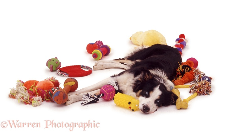Border Collie Baloo surrounded by toys, white background