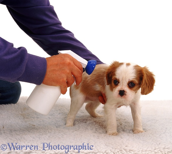 Cavalier King Charles Spaniel puppy being treated for fleas, white background