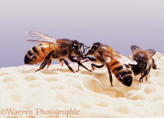Honey Bee (Apis mellifera) workers mutual feeding on honey comb