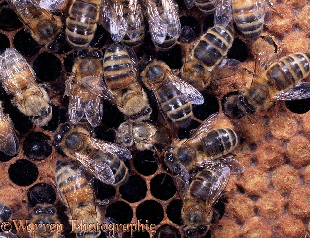 Honey Bee (Apis mellifera) workers on comb as new worker emerges from its cell,