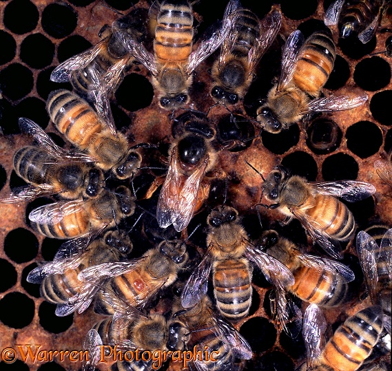 Honey Bee (Apis mellifera) queen surrounded by workers as she lays an egg in a cell