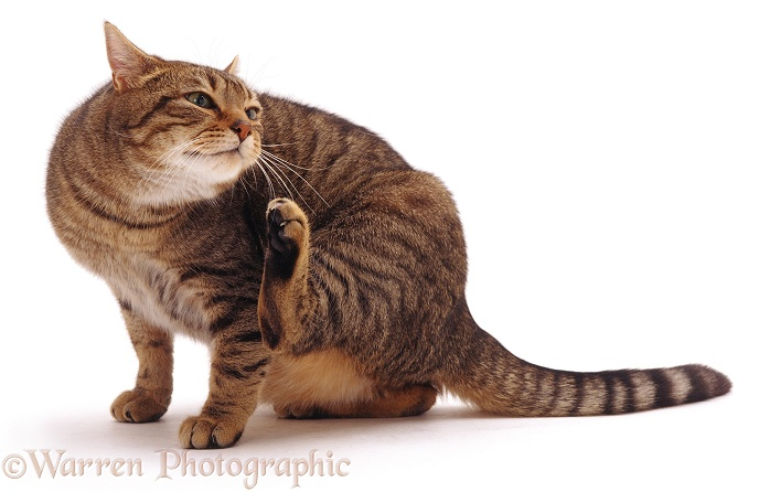 Striped tabby male cat Nemo scratching his face, white background