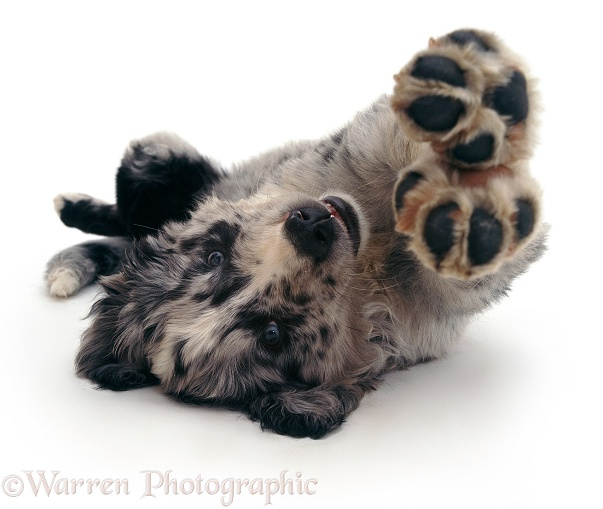 Blue merle Border Collie pup Ash lying upsidedown, white background